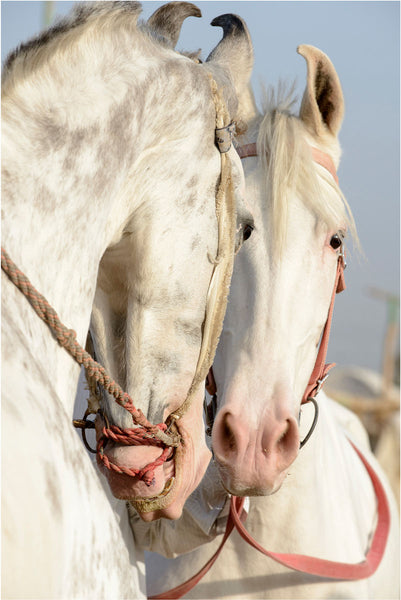 Two Grey Marwari Stallions