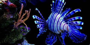 5 reasons you should be eating lionfish