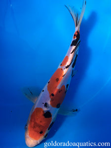 Image of a Taisho Sanshoku koi fish. A scaleless tri colored koi fish consisting of red, black, and white.