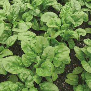Spinach Long Standing Bloomsdale - Bulk Pack