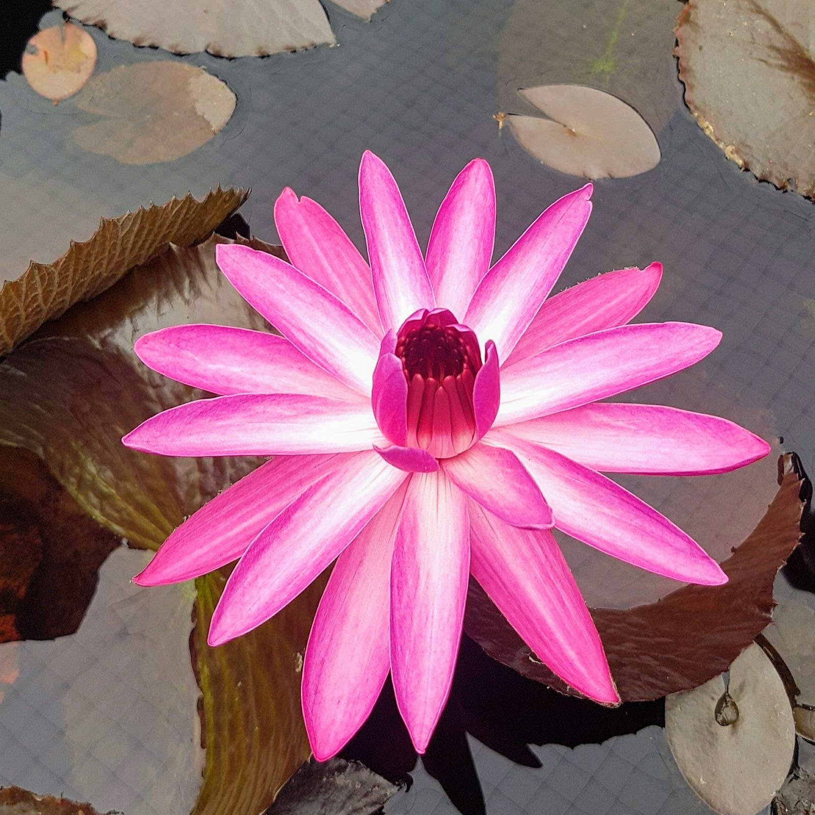 Night Flowering Water Lilies