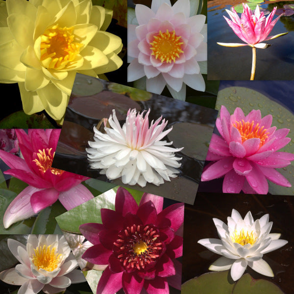 Hardy Water Lily - 10 Pack