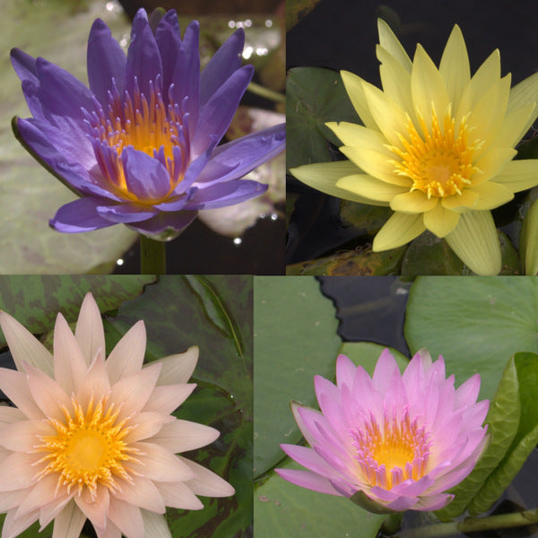 Tropical Water Lily - 5 Pack
