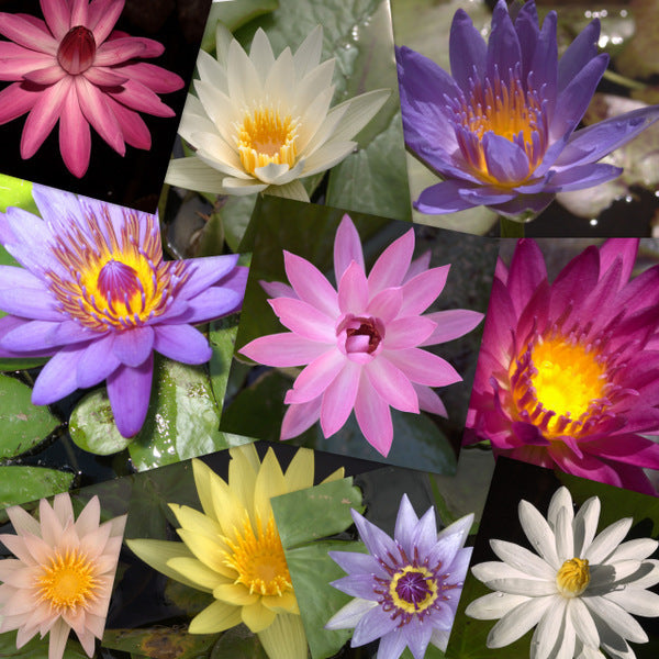 Mixed Hardy & Tropical Water Lily - 10 Pack