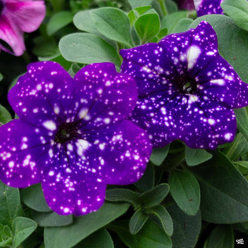 Petunia Headliner 'Night Sky