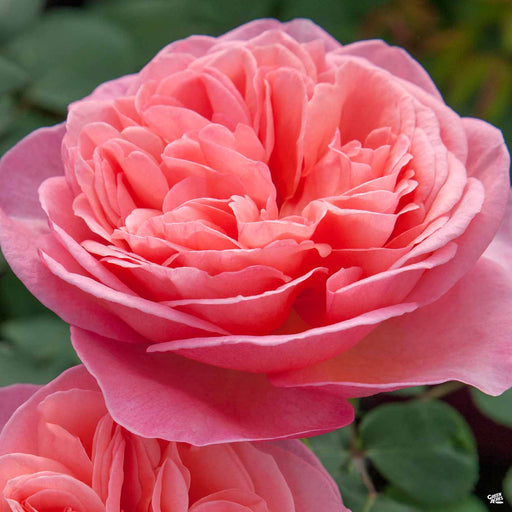 'Sweet Mademoiselle' Hybrid Tea Rose