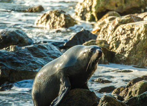 LGI078 - Fur Seal - Large Postcard