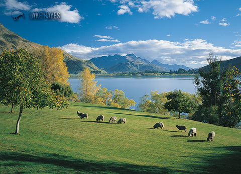 LQT134 - Sheep Grazing Beside Lake Hayes - Large Postcard