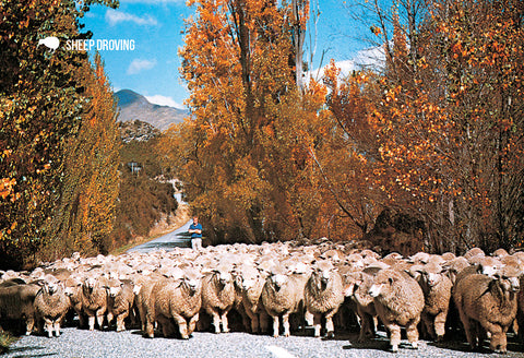 SOT391 - Wanaka Sheep Droving - Small Postcard