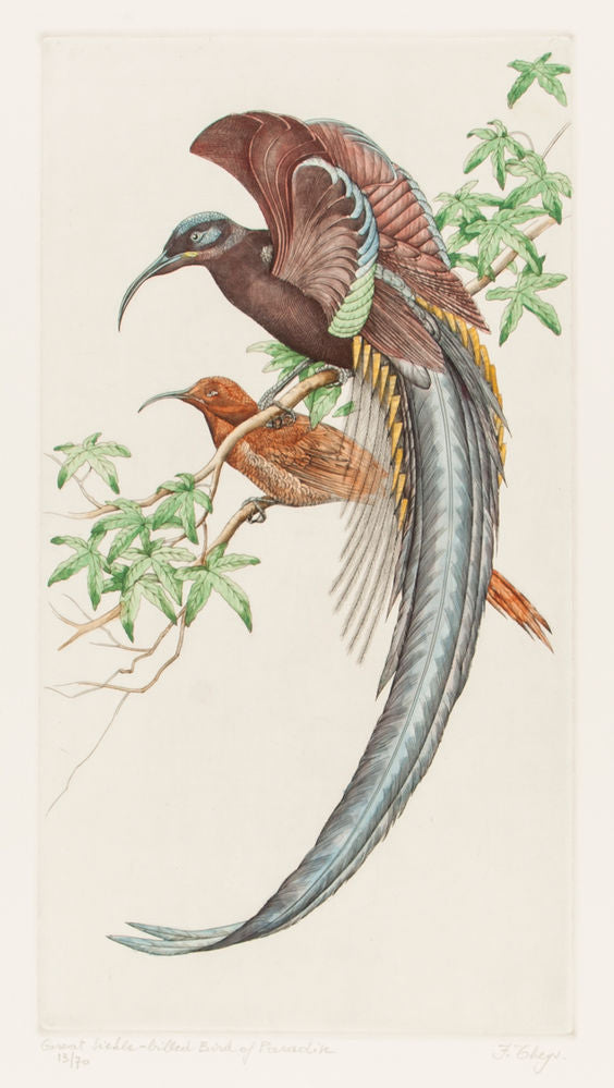 Great Sicle-billed Bird of Paradise. (Epimachus speciosus