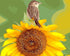 Sparrow & Sunflower - Paint by Numbers Kit