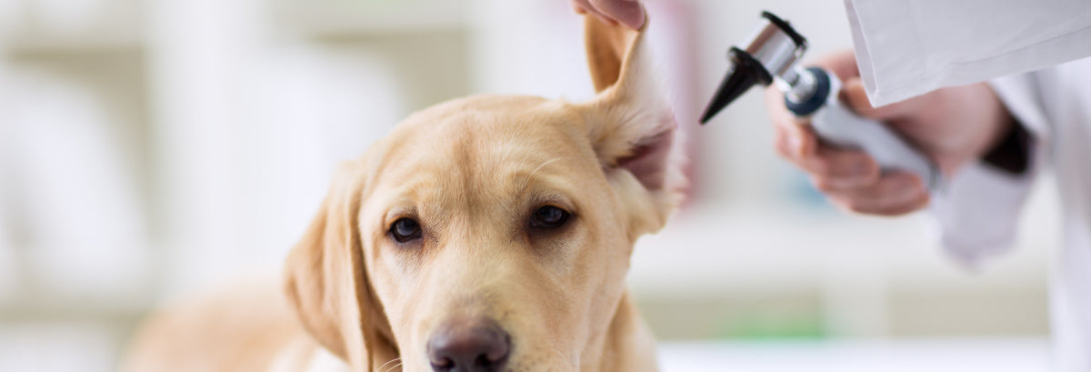 Can CBD Help With Dog Ear Inflammation & Infections?