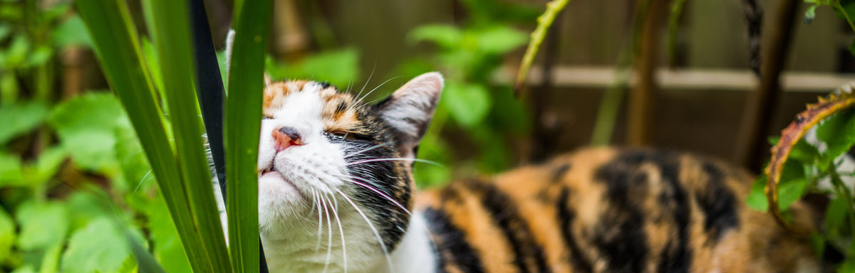 CBD For Cats Vs Catnip: Which Is Better?