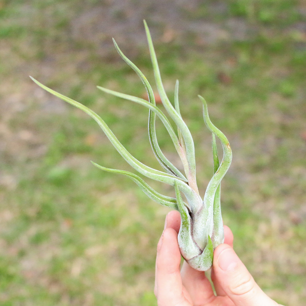 SALE - Caput Medusae - Set of 10 or 20 Air Plants - 70% Off