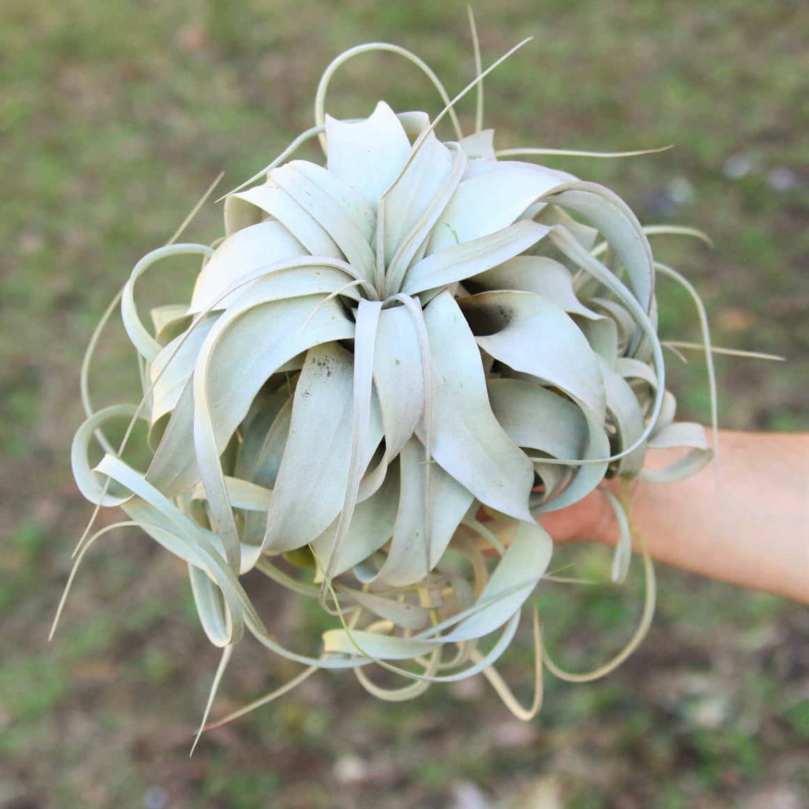 SALE - Large Xerographica - 6 to 8 Inches Wide - Set of 3 or 6 Specialty Air Plants - 40% Off