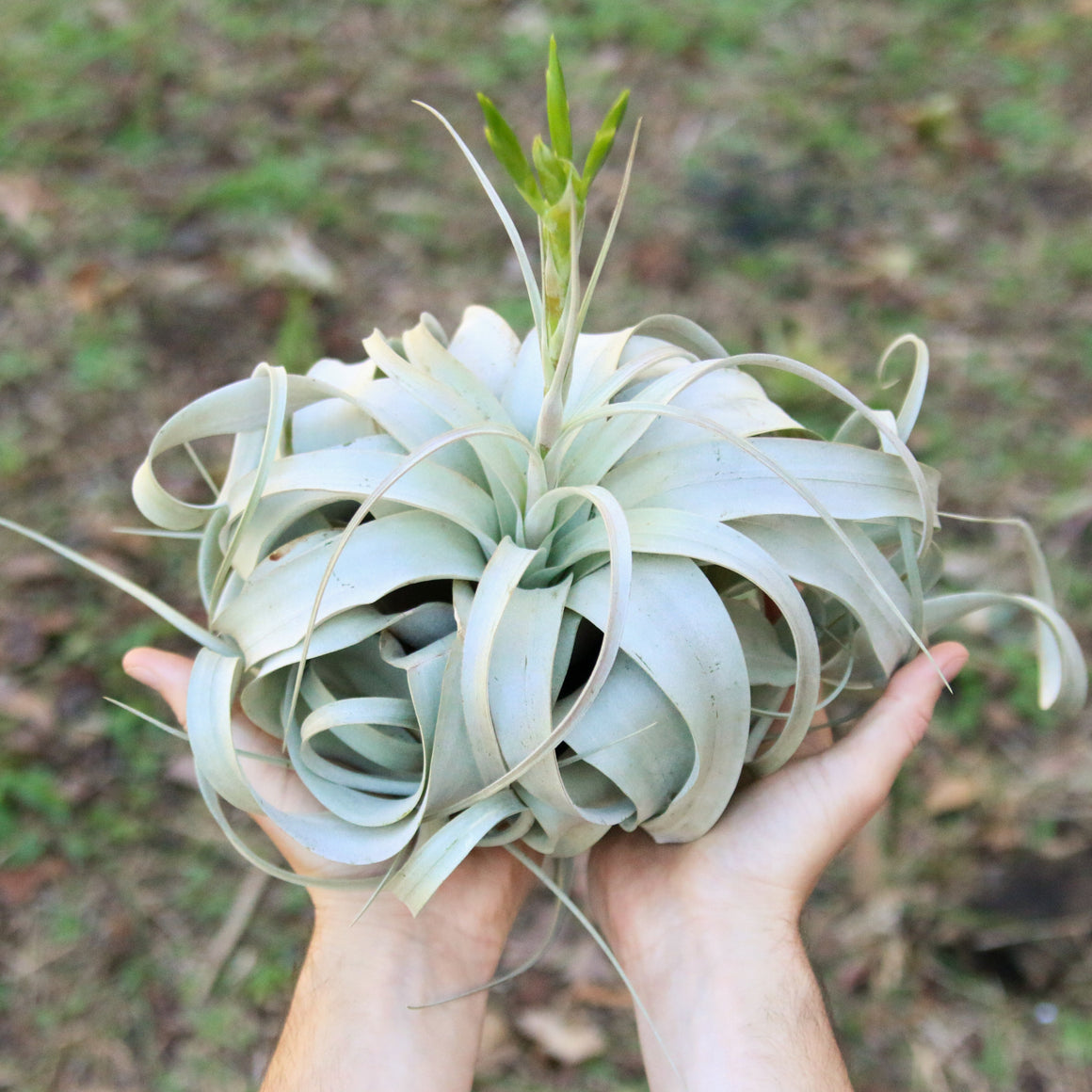 Wholesale - Jumbo Tillandsia Xerographica / 8-10 Inch Plants