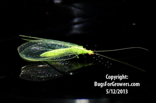 Green Lacewing, Chrysoperla rufilabris- Adults