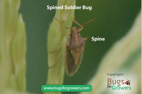 Predatory spined soldier bug, Podisus maculiventris