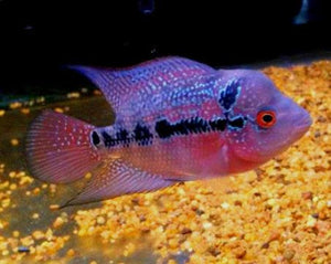 Flowerhorn Super Red Dragon (juv) to 5cm