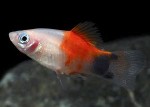 Mickey Mouse Red and White Platy