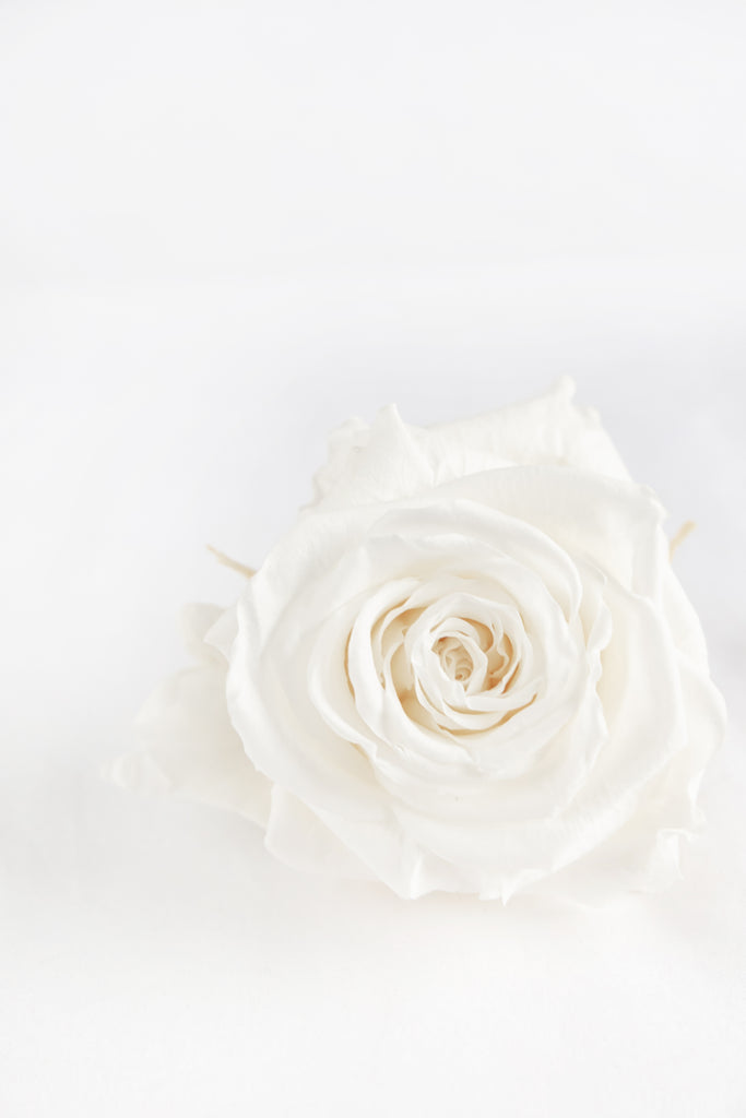 White Keepsake Rose