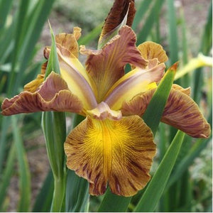 Iris spuria Honey Mocha Lotta