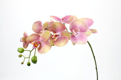 Phalaenopsis Orchid Fresh Touch Eggplant 72cm