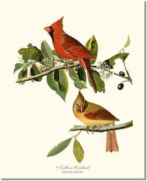 Bird Print: Cardinal, Northern