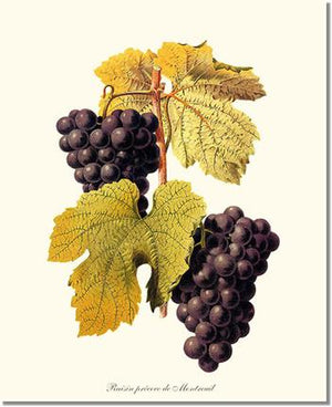 Fruit Print: Grape, Wine
