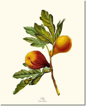 Fruit Print: Fig