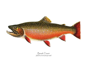 Antique Fish Print: Speckled Trout (Brook Trout) -  Ripe Male