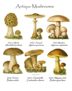 Antique  Mushrooms Notecards