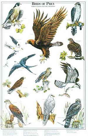 Birds of Prey Poster Identification Chart II