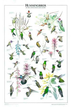 Hummingbirds Poster Identification Chart