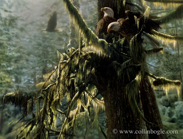 Bald eagles in moss covered tree painting art print by Collin Bogle.