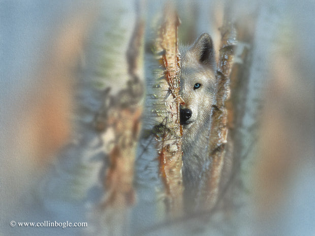 Lone white wolf in birch trees painting art print by Collin Bogle.