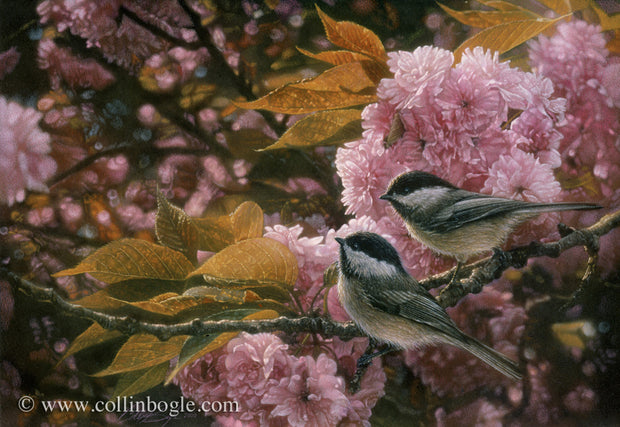 Black-capped chickadees with pink spring blossoms painting art print by Collin Bogle.