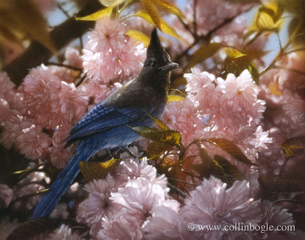 Steller's Jay in spring blossoms painting art print by Collin Bogle.