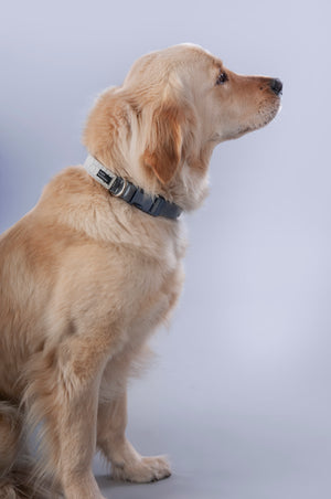 golden retriever looking right wearing grey, vegan leather, alligator texture hyde collar