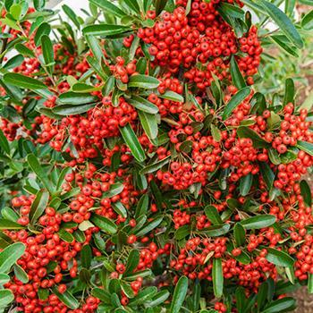 Mohave Pyracantha (Firethorn)