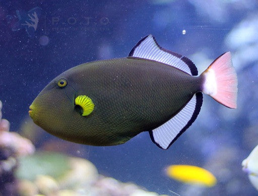 Pink Tail Triggerfish (Melichthys vidua)