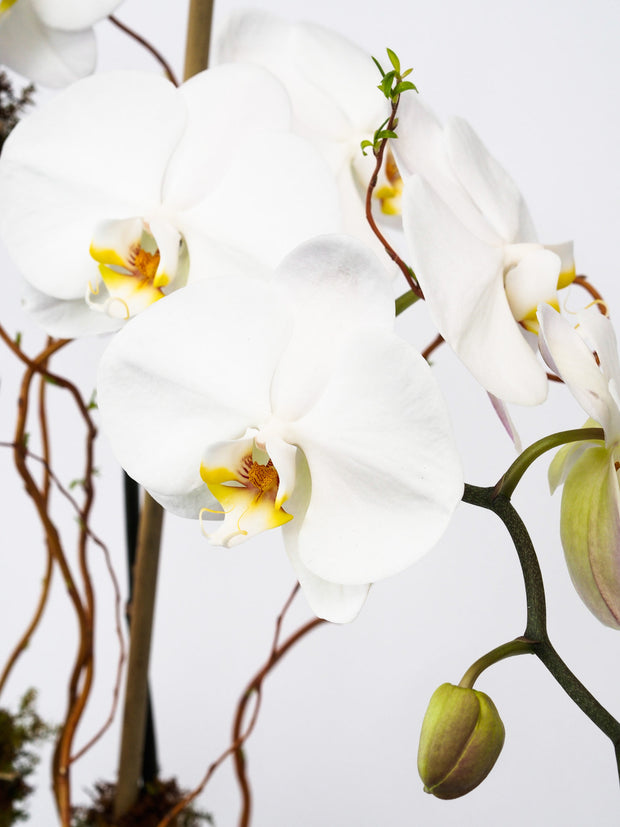Orchids in Clear Glass