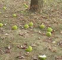 30Pcs Osage Orange Tree Highest Quality Tree Seeds - AsitiGift