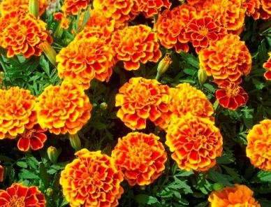 5000Pcs French Marigold Sparky Mix Seeds - AsitiGift