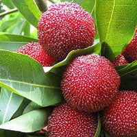 10 Particles / Bag Arbutus Unedo Strawberry Tree Plant Seeds - AsitiGift