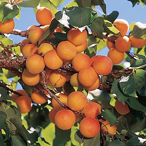 Manchurian Apricot Fruit Tree Seeds - 6 Premium Quality Tree Seeds - AsitiGift
