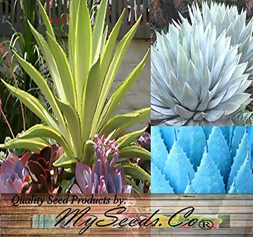 20 Pcs AGAVE SPECIES Seeds Mix - AsitiGift