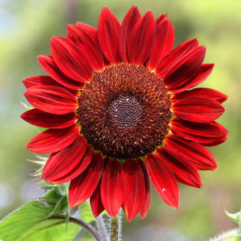 100Pcs Sunflower Seeds, Red Sun Sunflower Plant - AsitiGift