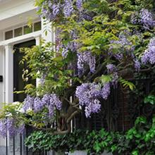Purple Wisteria Vine