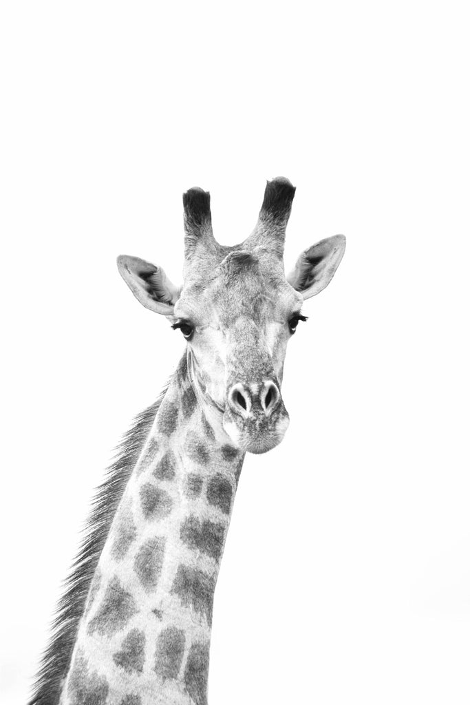 Black & White Giraffe Photographic Print